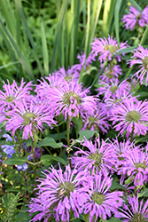 Petite Wonder Beebalm (Monarda 'Petite Wonder') at Meadows Farms Nurseries