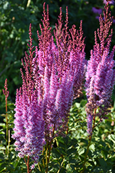 Superba Chinese Astilbe (Astilbe chinensis 'Superba') at Meadows Farms Nurseries