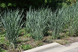 Dallas Blues Switch Grass (Panicum virgatum 'Dallas Blues') at Meadows Farms Nurseries