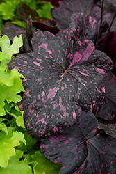 Midnight Rose Coral Bells (Heuchera 'Midnight Rose') at Meadows Farms Nurseries