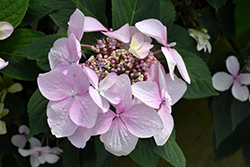 Let's Dance® Diva! Hydrangea (Hydrangea macrophylla 'SMHMLDD') at Meadows Farms Nurseries