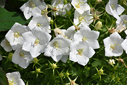 White Clips Bellflower (Campanula carpatica 'White Clips') at Meadows Farms Nurseries