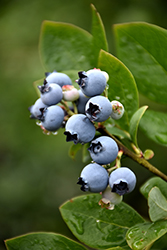 Northblue Blueberry (Vaccinium 'Northblue') at Meadows Farms Nurseries