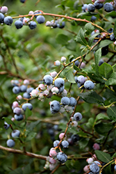 Jubilee Blueberry (Vaccinium corymbosum 'Jubilee') at Meadows Farms Nurseries