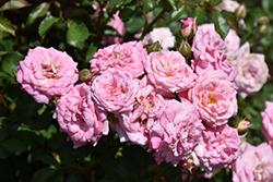 Sweet Drift® Rose (Rosa 'Meiswetdom') at Meadows Farms Nurseries