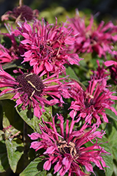 Cranberry Lace Beebalm (Monarda 'Cranberry Lace') at Meadows Farms Nurseries