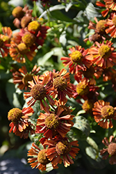 Ruby Tuesday Sneezeweed (Helenium 'Ruby Tuesday') at Meadows Farms Nurseries