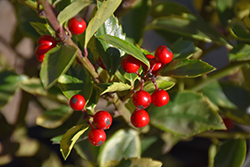 Honey Maid Meserve Holly (Ilex x meserveae 'Honey Maid') at Meadows Farms Nurseries