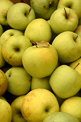 Golden Delicious Apple (Malus 'Golden Delicious') at Meadows Farms Nurseries