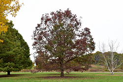 White Oak (Quercus alba) at Meadows Farms Nurseries