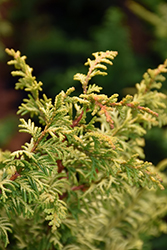 Tetragona Aurea Hinoki Falsecypress (Chamaecyparis obtusa 'Tetragona Aurea') at Meadows Farms Nurseries