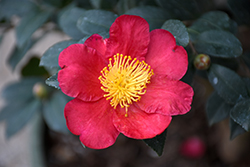 Yuletide Camellia (Camellia sasanqua 'Yuletide') at Meadows Farms Nurseries