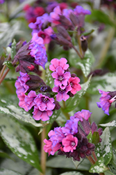 Silver Bouquet Lungwort (Pulmonaria 'Silver Bouquet') at Meadows Farms Nurseries