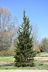 Eastern Redcedar (Juniperus virginiana) at Meadows Farms Nurseries