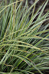 EverColor® Everest Japanese Sedge (Carex oshimensis 'Carfit01') at Meadows Farms Nurseries