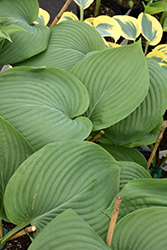 Empress Wu Hosta (Hosta 'Empress Wu') at Meadows Farms Nurseries