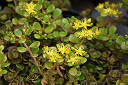 Chinese Sedum (Sedum tetractinum) at Meadows Farms Nurseries