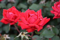 Double Knock Out® Rose (Rosa 'Radtko') at Meadows Farms Nurseries