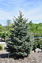 Bakeri Blue Spruce (Picea pungens 'Bakeri') at Meadows Farms Nurseries