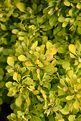 Tiny Gold Barberry (Berberis thunbergii 'Tiny Gold') at Meadows Farms Nurseries