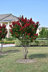 Dynamite® Crapemyrtle (Lagerstroemia indica 'Whit II') at Meadows Farms Nurseries