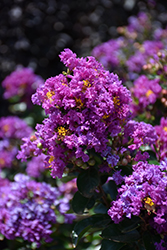 Purple Magic Crapemyrtle (Lagerstroemia 'Purple Magic') at Meadows Farms Nurseries